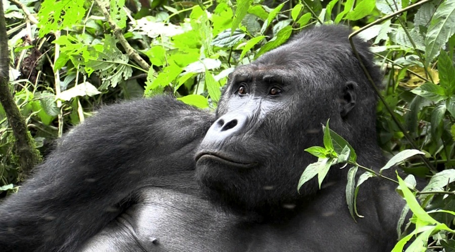 Illegal mining in Congo wiping out gorilla populations